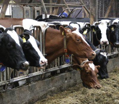Jak rozpoznać w tabulogramach czego krowie w stadzie brakuje?